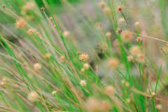 The pollen of the grass begins to dry. For new flowering stock photo