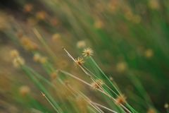 The pollen of the grass begins to dry. For new flowering royalty free stock photos