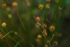 The pollen of the grass begins to dry. For new flowering royalty free stock photo