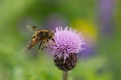 Pollen gromadzenie się 2 zdjęcie royalty free