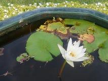 Pollen jaune de blanc waterlily et de feuilles de vert photographie stock
