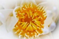Pollen jaune du lotus blanc, foyer sélectionné Image libre de droits