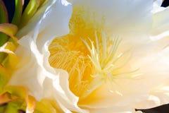 Pollen Kaktusowy kwiat Zdjęcie Royalty Free