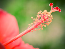 Pollen kwiat Zdjęcie Stock