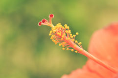 Pollen kwiat Zdjęcia Stock