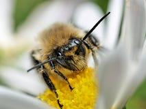 Pollen laden honeybee closeup. Macro of a pollen laden honeybee on a flower Royalty Free Stock Photography