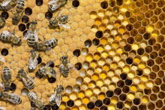 Pollen, larvae, cocoons, bees. Royalty Free Stock Image