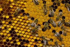 Pollen, larvae, cocoons, bees Royalty Free Stock Images