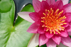 Beautiful pink water-lily or lotus in the pond. Close-up of beautiful pink water-lily or lotus and its leaf on water in the pond Stock Image