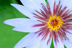 Pollen of lily Stock Photography