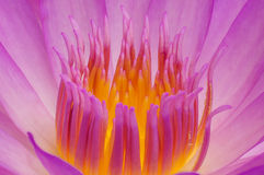Pollen of lotus. Stock Images