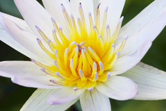 Pollen of lotus flower soft focus (close up) Stock Photo