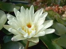Pollen lotus Stock Images