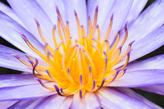 pollen of lotus Stock Photo