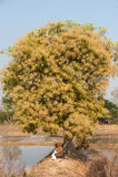Pollen of mango tree. Stock Photos