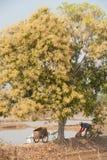 Pollen of mango tree. Stock Images