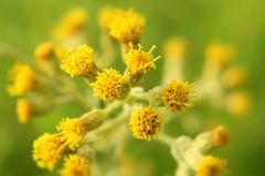 Pollen of many yellow flowers. stock images