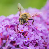 Pollen myśliwy Obraz Stock