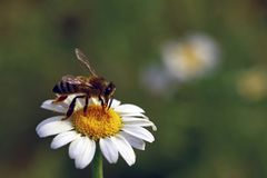 Pollen och nektar för bi annalkande på tusensköna Arkivfoto