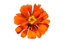 Pollen orange de jaune de fleur sur le fond blanc Photo libre de droits