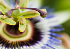 Pollen Passion. The tip of a passion flower bearing pollen Stock Photography