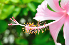 Pollen of pink flower Stock Photos