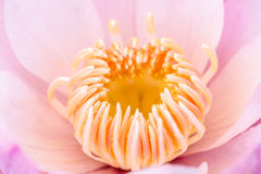 Pollen pink lotus Royalty Free Stock Photo