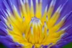Pollen pourpre de lotus de plan rapproché Photographie stock libre de droits