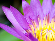 Pollen purple lotus bloom Stock Photo