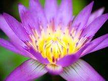 Pollen purple lotus bloom Stock Images