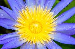 Pollen purpurowy lotos obraz stock