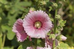 Pollen, rose trémière dans le jardin Image libre de droits