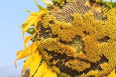 Pollen słonecznik Zdjęcie Stock