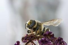 Pollen shower Stock Image