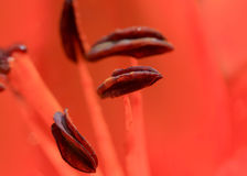 Pollen and stamen of Lily flower Stock Photos