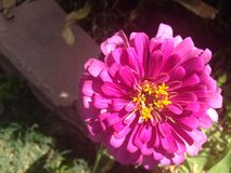 Pollen starlike de fleur rose de Zinnia Photographie stock
