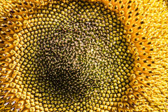 Pollen of sunflower Stock Image