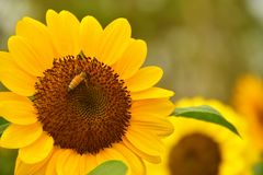 The Pollen of Sunflower with a Bee royalty free stock photography