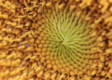 Pollen of sunflower Royalty Free Stock Photo