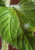 Pollen on a sunflower leaf Royalty Free Stock Photography