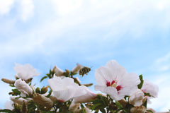 Pollen-täckt stappla biet i flykten Royaltyfri Foto