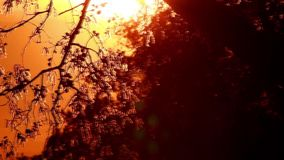 Pollen and tree leaves on the wind. In sunset HD stock video