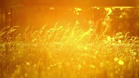 Pollen and tree leaves on the wind. In sunset HD stock video footage