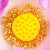 Pollen of water lily Royalty Free Stock Photo