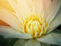 Pollen of the white. Lotus A light spills from the top Stock Images