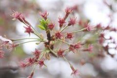 Pollen of white sakura flower or cherry blossoms. Stock Photography