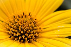 Pollen in a yellow flower. With a close up thecnical Stock Image