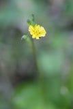 Pollen of yellow grass flower on blur background, macro shot. Pollen of blooming yellow grass flower on blur background, macro shot Stock Photography