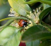Pollen zakrywający czerwony ladybird Fotografia Stock