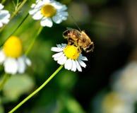 Pollen zbierający Zdjęcia Royalty Free